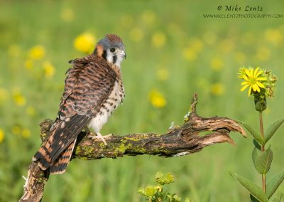 Kestral fluffed up