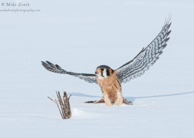 Kestral jumps off snow