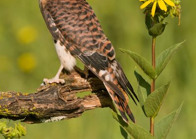 Kestral male backside verticle
