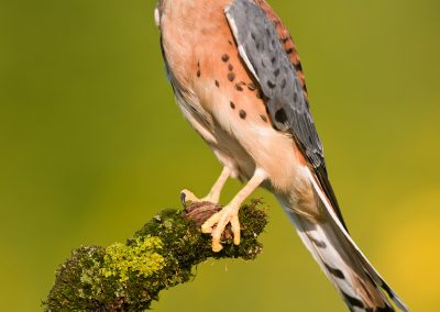 Kestral male vert on mossy perch