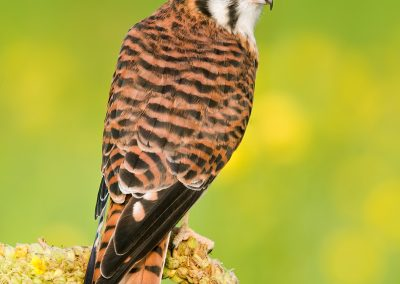 Kestral super portrait over shoulder