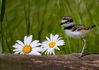 Killdeer baby near flowers SLIDESHOW