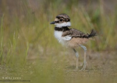 Killdeer baby vert portrait in grassesPS2