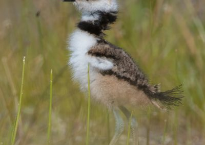 Killdeer verticle in grassesPS2