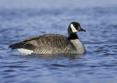 Lesser Canada Goose portrait