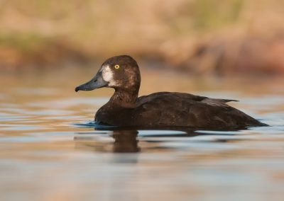 Lesser Scaup on great waters