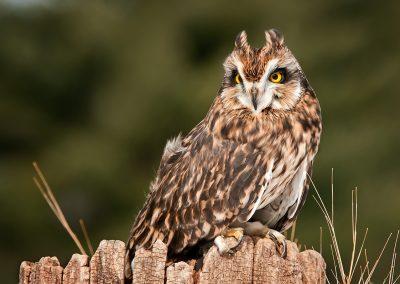 Long Eared Owl on log SLIDESHOW