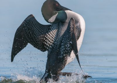 Loon Penguin dances away