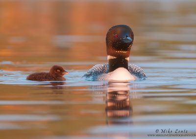 Loon and baby in sweet light