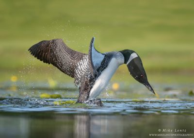 Loon attacks a GrebePS2