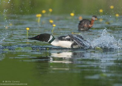 Loon chases Red necked GrebePS2