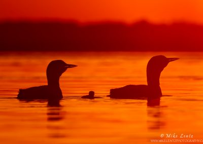 Loon-combo-with-baby-silhouetted