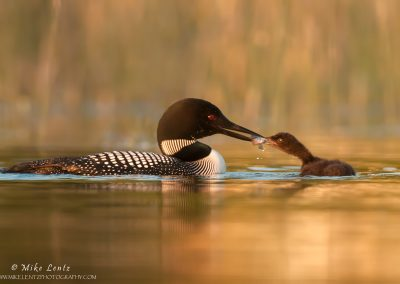 Loon-feeding-sunfish-to-baby