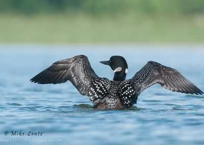 Loon looks left wing flap