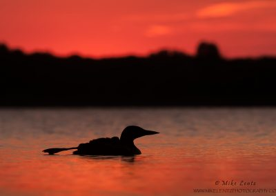Loon summer sunset silhouette