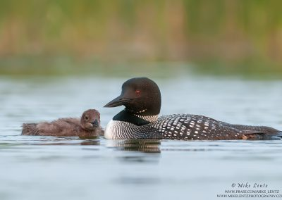 Loon time for two