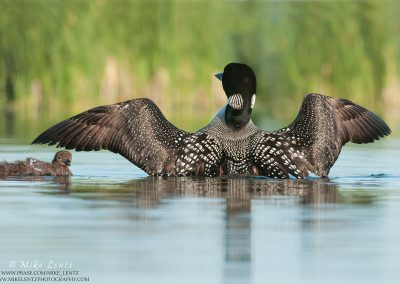 Loon wings fallping over baby