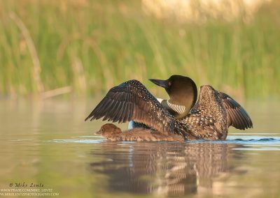 Loon wings up baby underneath