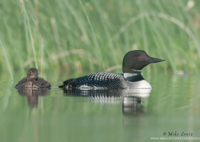 Loon with solo baby calm near reeds