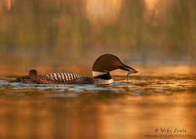 Loon with sunfish baby follows