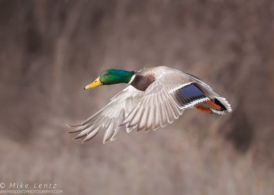Mallard duck drake wings down