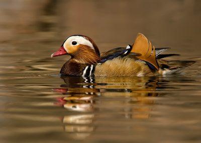Mandarin duck SLIDESHOW