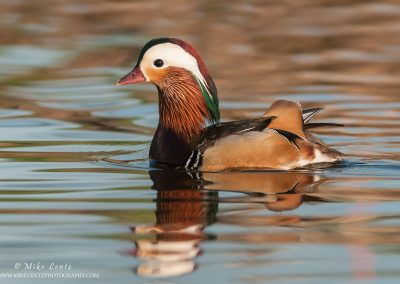 Mandarin duck drake on calm waters