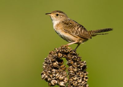 Marsh Wren poses SLIDESHOW