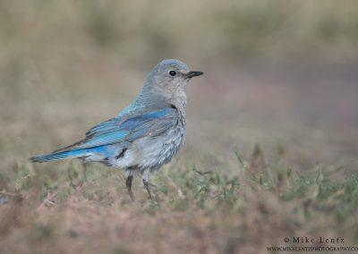 Mountain Bluebird on GrassPS2