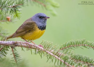 Mourning warbler in soft pines