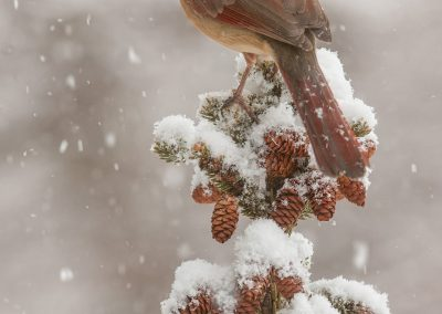 Northern Cardinal FM vert in snowy pines