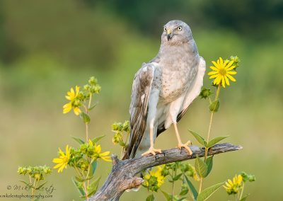 Northern Harrier in daisys