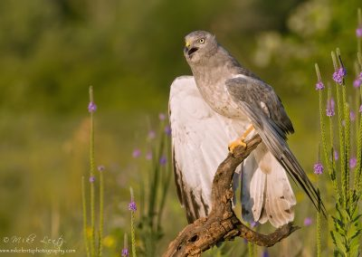 Northern Harrier wings open