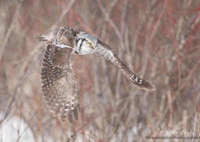 Northern Hawk Owl willow flight