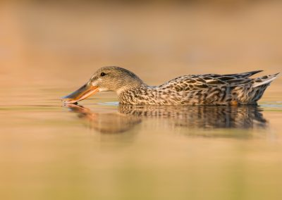 Northern Shoveler Hen spooning water