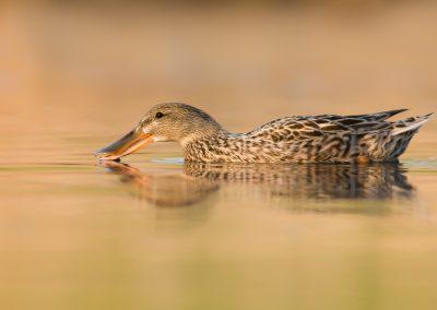 Northern Shoveler Hen spooning water