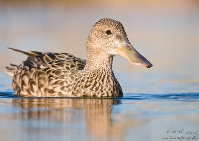 Northern Shoveler hen low