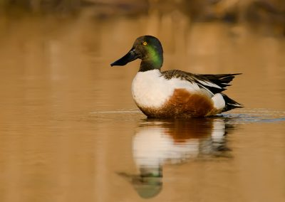 Northern Shoveler on golden glass water full reflection