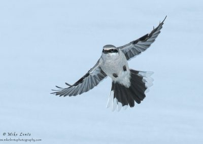 Northern shrike wide