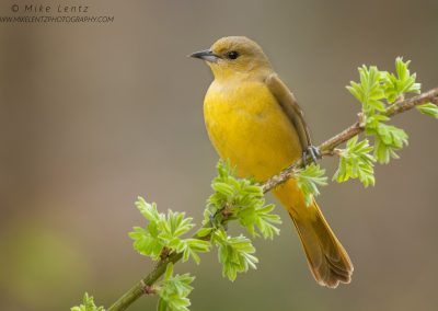 Orchard Oriole female portraitPS2