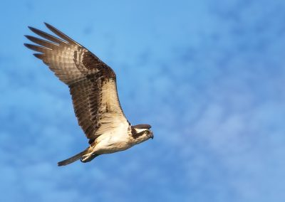 Osprey fly by SLIDESHOW