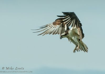 Osprey lands