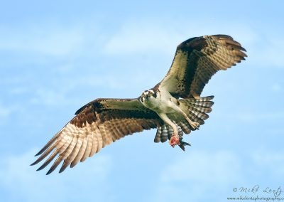 Osprey wide with fish