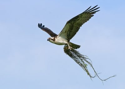 Osprey with nesting SLIDESHOW