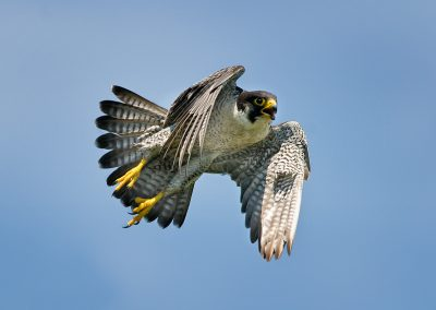 Peregrine Falcon jumps SLIDESHOW