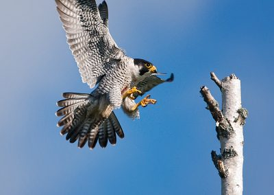 Peregrine Falcon landing SLIDESHOW