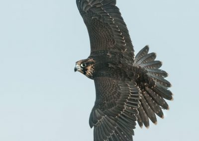 Peregrine Tiercel in flight