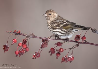 Pine Siskin on berries