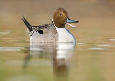 Pintail beak open