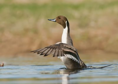 Northern Pintail, duck.